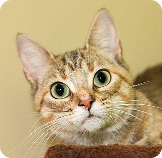 Domestic Shorthair Cat for adoption in Seville, Ohio - Maxi