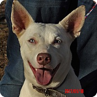 Husky/Kishu Mix Dog for adoption in Williamsport, Maryland - Diamond(60 lb) New Pics/Video