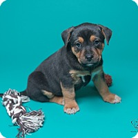 Adopt A Pet :: 8 Week Old Boys! - Henderson, NV