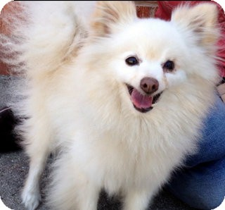 Pomeranian Mix Dog for adoption in Los Angeles, California - Sheldon *VIDEO*