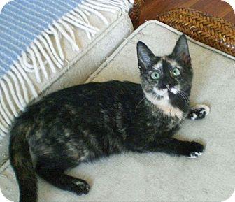 Domestic Shorthair Kitten for adoption in Fairborn, Ohio - Carmella