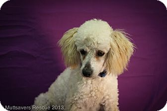 Poodle (Miniature) Mix Puppy for adoption in Broomfield, Colorado - Boyfriend