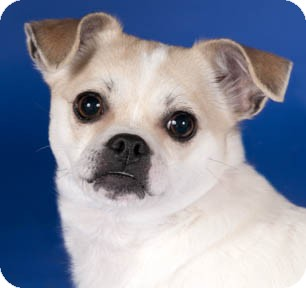 Chihuahua/Rat Terrier Mix Dog for adoption in Chicago, Illinois - Sweeper