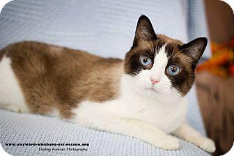 Snowshoe Cat for adoption in San Antonio, Texas - Merlin