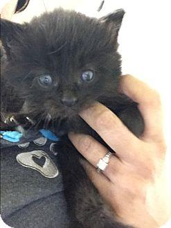 Domestic Mediumhair Kitten for adoption in Anaheim Hills, California - Sinatra