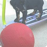 Adopt A Pet :: Bear - Marlton, NJ