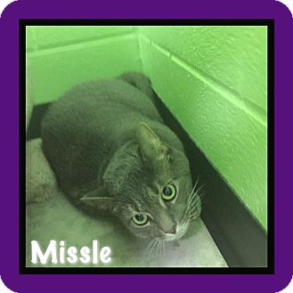 Domestic Shorthair Cat for adoption in Bryan, Ohio - missle