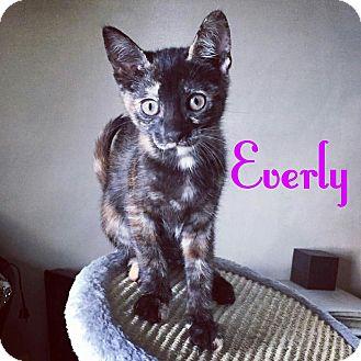 Domestic Shorthair Kitten for adoption in New York, New York - Everly