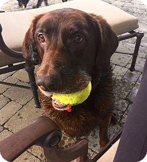 Labrador Retriever Mix Dog for adoption in Bedford Hills, New York - Roxie