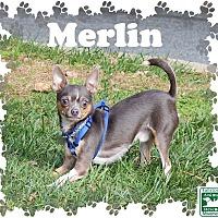 Adopt A Pet :: Merlin - Fallston, MD