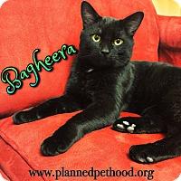 Adopt A Pet :: Bagheera - Toledo, OH