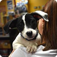Adopt A Pet :: Blue - Nyack, NY