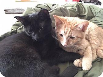 Domestic Shorthair Cat for adoption in Warren, Michigan - Cleveland