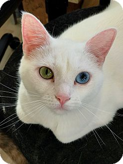 Domestic Shorthair Cat for adoption in Hanna City, Illinois - Selene