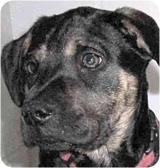 Labrador Retriever/Boxer Mix Dog for adoption in Olive Branch, Mississippi - A.J.-Almond Joy