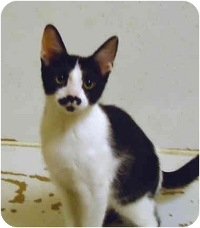 Domestic Shorthair Kitten for adoption in Chicago, Illinois - Duskywing