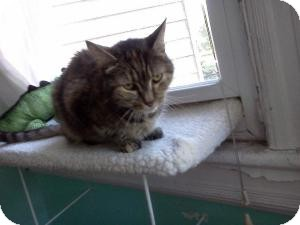 Domestic Shorthair Cat for adoption in bloomfield, New Jersey - Frances
