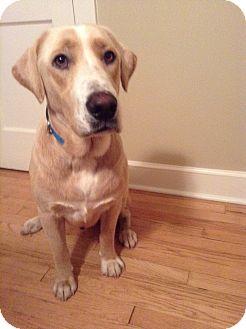 Labrador Retriever Mix Dog for adoption in Brattleboro, Vermont - Levi