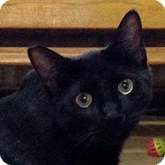 Domestic Shorthair Cat for adoption in Phoenix, Arizona - Paladin