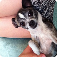 Adopt A Pet :: Layla - Los Angeles, CA