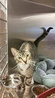 Domestic Shorthair Cat for adoption in Houston, Texas - Clark
