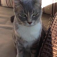 Domestic Shorthair Cat for adoption in Sebastian, Florida - Tansy