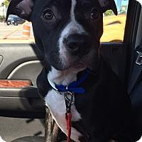 Adopt A Pet :: Little Man - Glenview, IL