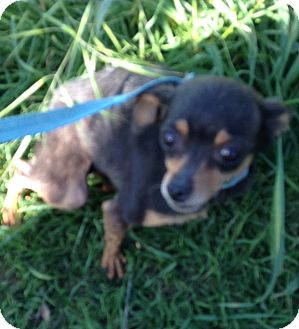 Chihuahua Dog for adoption in Frost grove, Oregon - Tia