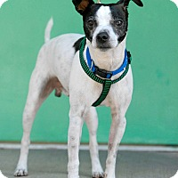 Terrier (Unknown Type, Small) Mix Dog for adoption in Pottsville, Pennsylvania - Jack