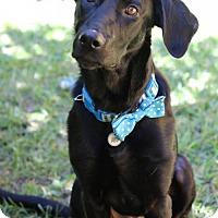 Labrador Retriever Mix Dog for adoption in Alpharetta, Georgia - Lenya