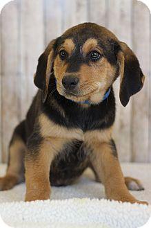 Hound (Unknown Type) Mix Puppy for adoption in Waldorf, Maryland - Eli