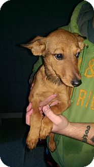 Jack Russell Terrier/Dachshund Mix Puppy for adoption in Pompton Lakes, New Jersey - Little Cookie