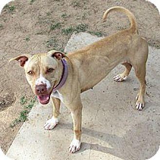 Labrador Retriever/Terrier (Unknown Type, Medium) Mix Dog for adoption in Phoenix, Arizona - Sandy