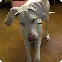 Great Dane Dog for adoption in Post Falls, Idaho - Eleanor - Blind & Deaf
