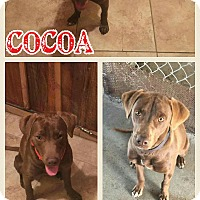 Adopt A Pet :: Cocoa pending adoption - Manchester, CT