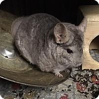 Adopt A Pet :: Tikii - Hammond, IN