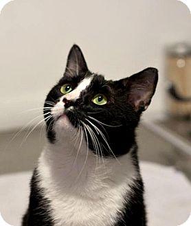 Domestic Shorthair Cat for adoption in Brooklyn, New York - Bjorn