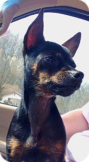 Chihuahua Dog for adoption in Hazard, Kentucky - Porkchop