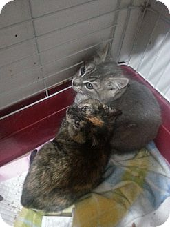 Domestic Shorthair Kitten for adoption in Brooklyn, New York - Rocco and Rocsie