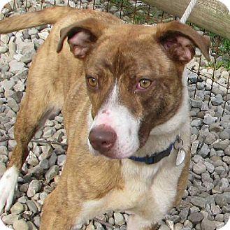 Cattle Dog/Boxer Mix Dog for adoption in Elyria, Ohio - Darcy Prison Dog