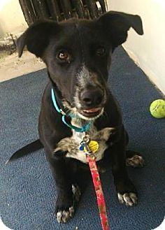 Blue Heeler/Terrier (Unknown Type, Medium) Mix Dog for adoption in West Des Moines, Iowa - Logan