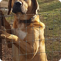 Mastiff/Black Mouth Cur Mix Dog for adoption in Bristol, Tennessee - Joey