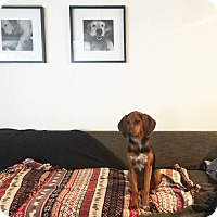 Basset Hound/Bloodhound Mix Puppy for adoption in Temple City, California - Antonio