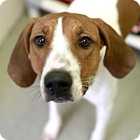 Coonhound Mix Dog for adoption in Kettering, Ohio - Sadie
