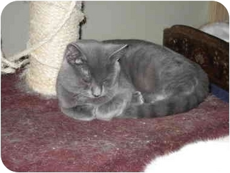 Domestic Shorthair Kitten for adoption in Terre Haute, Indiana - Itemis Mufasa