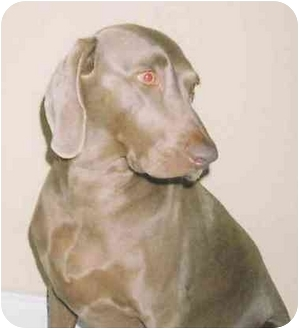 Weimaraner Dog for adoption in Eustis, Florida - Misty  **ADOPTED**