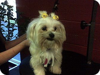 Maltese Dog for adoption in Hazard, Kentucky - Marylin
