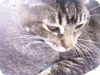 Abyssinian Cat for adoption in Walnut Creek, California - Cody