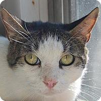 Domestic Mediumhair Cat for adoption in Hot Springs, Arkansas - Jaguar
