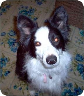 "Border Collie Dog for adoption in Minerva, Ohio - Kayla ""Sponsors Needed"" RIP"